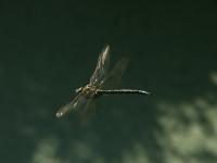 Ha-Long-libellule