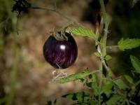 theatre-des-minuits-potager-aubergine-gp
